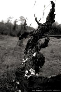 Pieds de vignes, et pieds de nez...